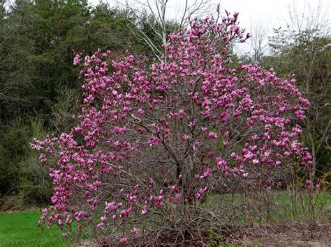 saucer magnolia blooms in the shenandoah valley