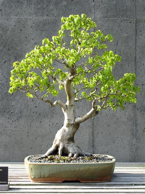 american hornbeam bonsai informal upright style moyogi