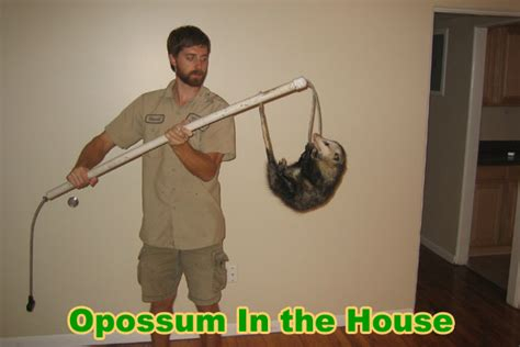 how to get rid of possums under house how to get rid of possums house 28 images how to get rid of possums in the yard
