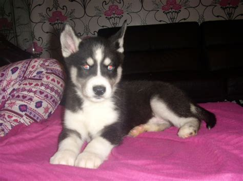 husky puppies for sale in florida puppy picture here is not for sale past husky puppy breeds picture