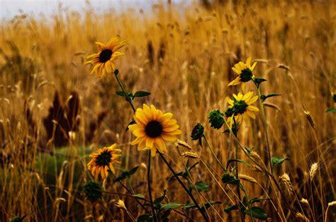 sunflower patch wild sunflower patch
