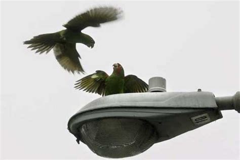as san francisco s wild parrot flock grows so does