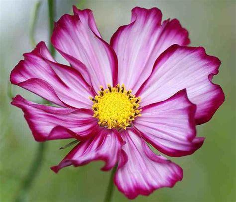 Biji Benih Cosmos Bright Lights Mix jual benih bibit biji bunga cosmos stripe flower