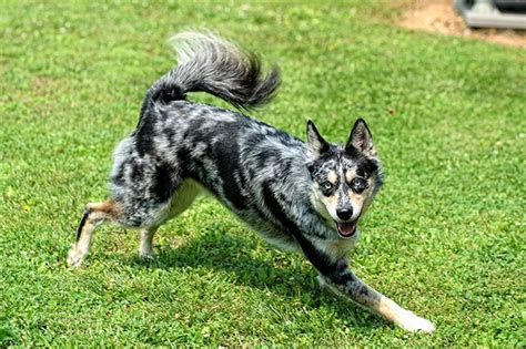 aussie siberian puppies for sale 8 best images about ausky fever on australian shepherd mix husky and