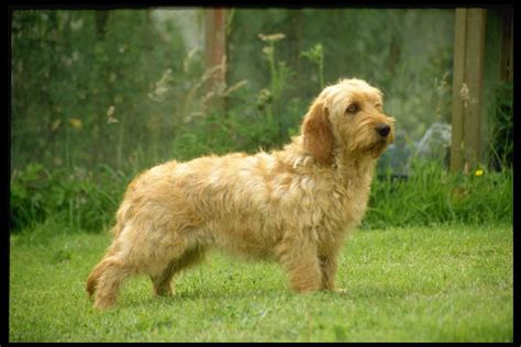 griffon fauve de bretagne dog on the grass photo and