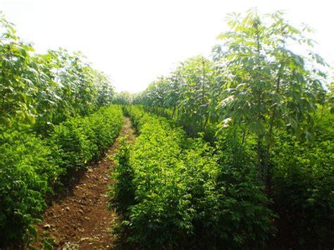 Bibit Daun Bangun Bangun august 2013 cara menanam dan teknik budidaya tanaman