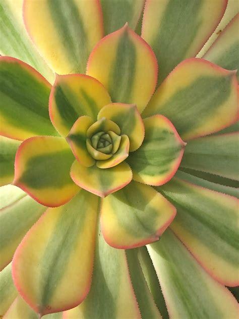 Aeonium 'Sunburst'   Copper Pinwheel   World of Succulents