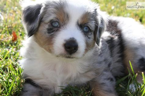 australian shepherd puppies colorado miniature australian shepherd aussie breeders in colorado breeds picture