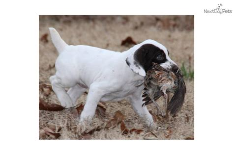 german shorthaired pointer puppies for sale in florida german shorthair breeders florida breeds picture
