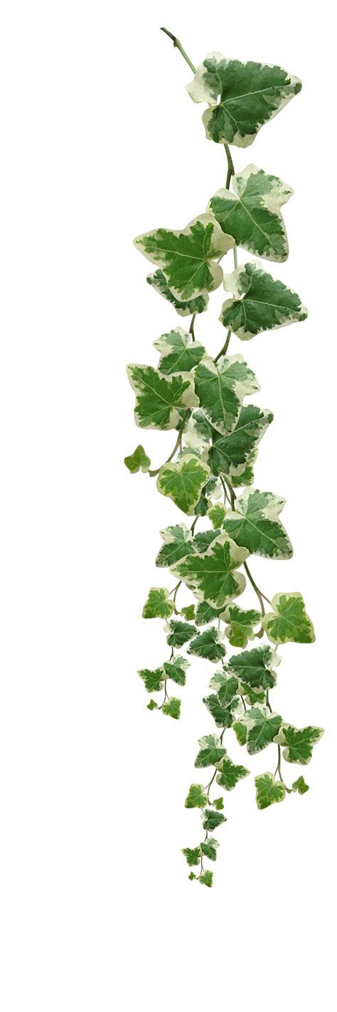 houseplant vine vines plants png images