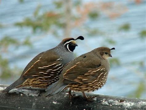 17 best images about california quail on pinterest