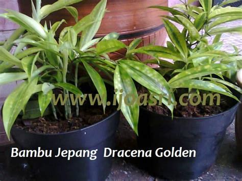 bambu jepang dracena golden green living room