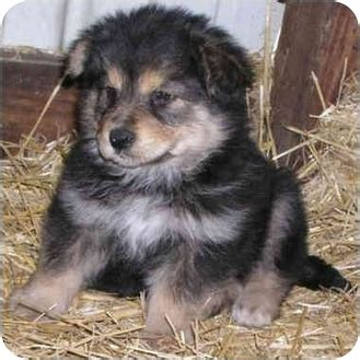 german shepherd malamute mix puppies alaskan malamute german shepherd mix puppy breeds picture