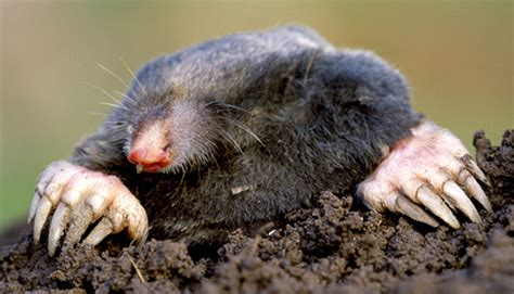 moles and voles identification control removal and exclusion mnwildanimalmanagement s blog