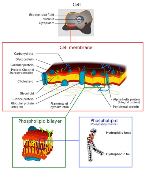 diagram of a section of a cell membrane plasma cell membrane rjones1st2014