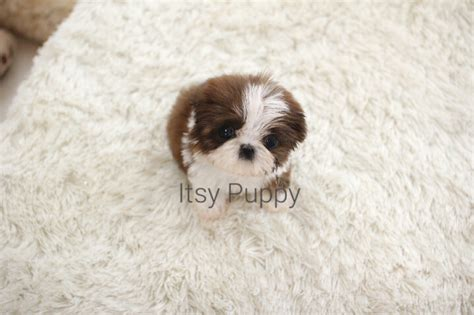 itsy puppy sold wrigley micro shih tzu itsy puppy teacup microteacup puppies for