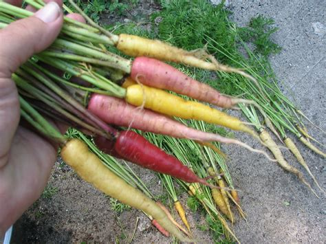 colorful carrots island seed project