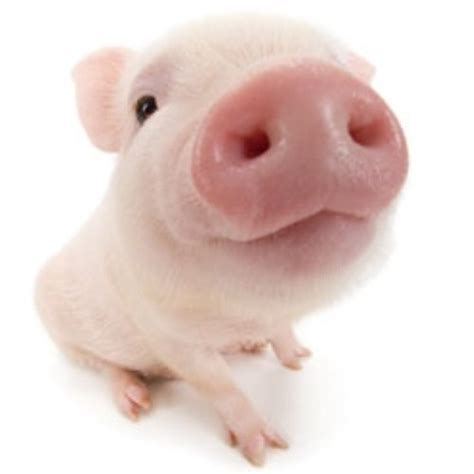 Want Beautiful Skin Try Piggy by Clyde The Pig Clyde The Pig