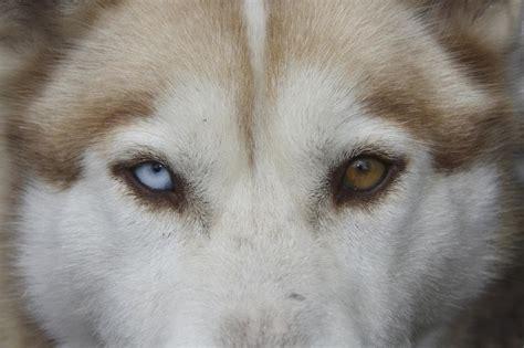 colore degli occhi diversi occhi eterocromi due occhi due colori diversi