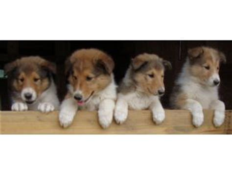 collie puppies for sale wisconsin collie puppies for sale