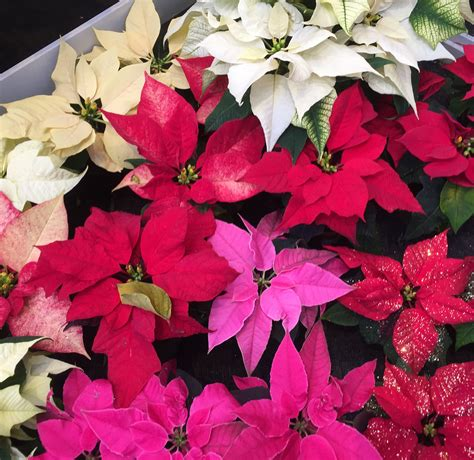 Weihnachtsstern Pflegen by Weihnachtssterne Richtig Pflegen Andrea S Home Gardening