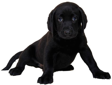 labrador puppies for sale in ct lab puppies for sale chocolate black yellow ct breeder