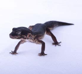 leopardgecko zuchtgruppe black nights sunset gecko zucht