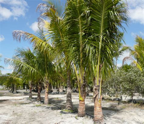 Uses Of The Coconut Palm by Coconut Palms