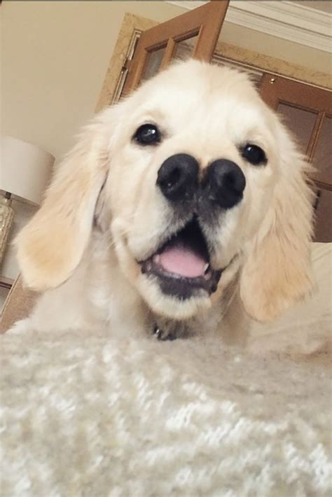 features of golden retriever that s nosey golden retriever with two noses shows impressive features