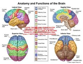 brain image brain diagram and functions