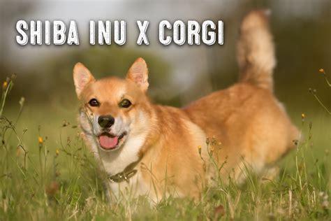 The Shiba Inu Corgi Mix - My First Shiba Inu