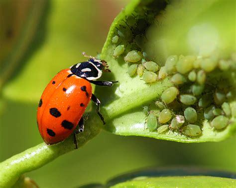ladybug buffet bug buffet hippodamia convergens bugguide net