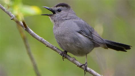 why do some birds mimic the sounds of other species all