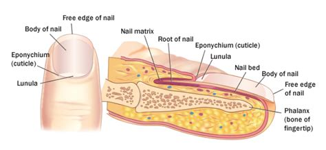 fingernail diagram nails 171 anatomy and physiology