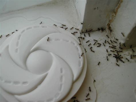 ants in bathtub linepithema humile wikip 233 dia