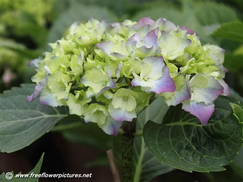 hydrangea flower pictures hortensia flower pictures