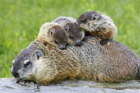 groundhog day type 9 things you didn t about groundhogs national