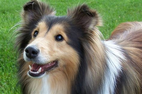 sheltie breed shetland sheepdog puppies dogs for sale in columbus macon ga athens