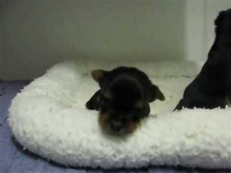 yorkie puppies 2 weeks yorkie puppies 3 weeks