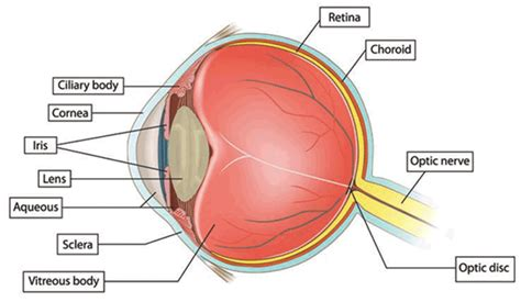 colored part of your eye eye anatomy glaucoma research foundation