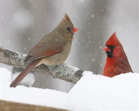 cardinals mate for life cool bird pics pinterest