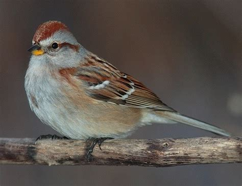 american tree sparrow life expectancy