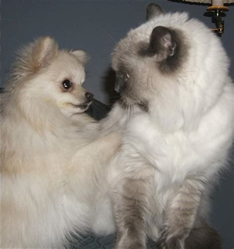 pomeranian and cats white pomeranian puppy with its cat friend jpg