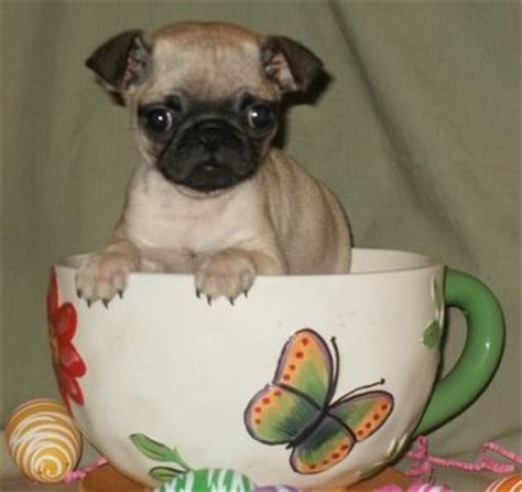 teacup pugs for sale xvon image free teacup pug puppies