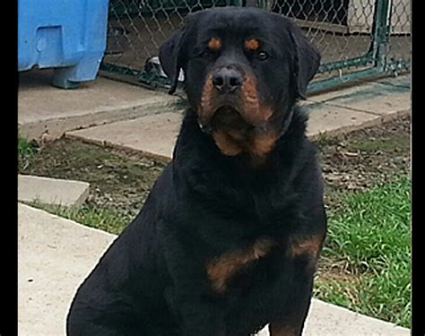 rottweiler puppies houston available rottweiler puppies sam houston rottweilers