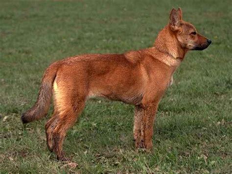 korean jindo puppy korean jindo info temperament care puppies pictures