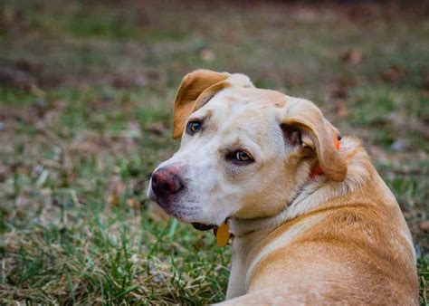 beagle lab mix puppies beagle lab mix a k a lab beagle mix all you need to ultimate home