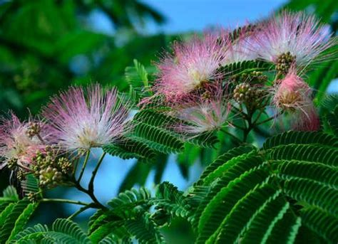 mimosa tree the mimosa family of shrubbery and silk