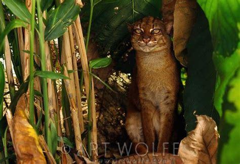 borneo bay cat bornean red or bay cat borneo indonesia wildlife pets