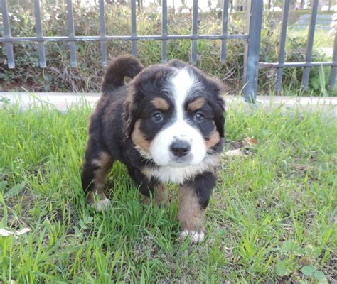 bernese mountain puppies price featured products bernese mountain puppies arizona